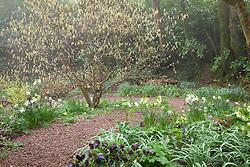 Corylopsis pauciflora, Helleborus x hybridus syn. Helleborus orientalis and Narcissus 'Thalia' in the woodland garden at Glebe Cottage