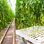 """The interior of an """"invernadero"""" showing different stages of a tomato crop. Located in the province of Almeria, Spain, these plastic greenhouses blanket the land with plants being grown all year round for intensive vegetable production."""