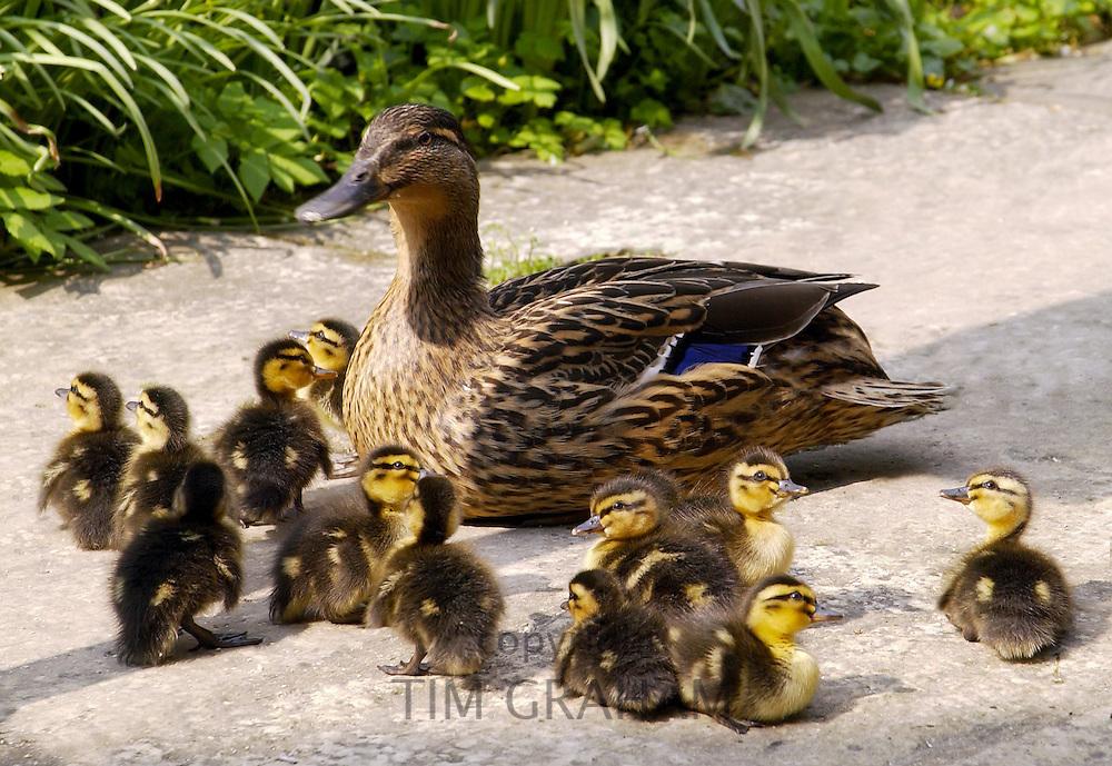 Mallard duck with her twelve ducklings, Oxfordshire, England