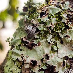 """""""Aranha (Aracnídeo) fotografado em Linhares, norte do Espírito Santo -  Sudeste do Brasil. Bioma Mata Atlântica. Registro feito em 2018.<br /> ⠀<br /> ⠀<br /> <br /> <br /> <br /> ENGLISH: Spider photographed in Linhares, North of Espírito Santo - Southeast of Brazil. Atlantic Forest Biome. Picture made in 2018."""""""