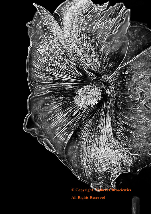 Evening Bloom  (B&W): A dramatic macro photograph of a summer flower, caught in full bloom and cast in an evening's light, Edison Washington, United States of America.