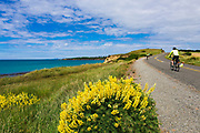Cyclists and lupine on the Otago Coast, Kakanui, Otago, South Island, New Zealand