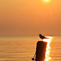 Laughing gulls (Larus atricilla) silhoutted against the rising sun, Port Mahon, DE