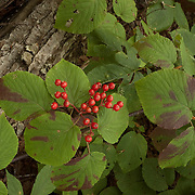 Hobblebush berries in the fall, New Hampshire