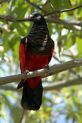 Pesquet's Parrot (Psittrichas fulgidus) also known as the Vulturine Parrot, Montane Rainforest in New Guinea, Threatened Species