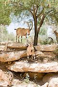 Israel, Negev, Outskirts of Kibbutz Sde Boker, Nubian Ibex (Capra ibex nubiana AKA Capra nubiana) A herd on the rocks Summer July 2008