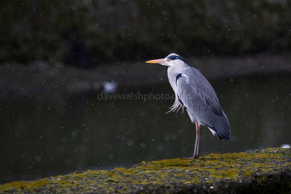 Grey Heron, Ardea Cinerea, standing in the falling snow on the bank of the Tolka River, by Fairview Park in Dublin today (02/02/2009).