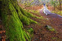 Mossy tree trunk flows toward man walking his dog on woodsy trail in Kodiak, Alaska