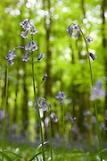 Bluebells in front of beech trees at Standish Wood in spring near the Cotswold way. Gloucestershire, England