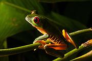 Red-eyed tree frog (Agalychnis callidryas), Manuel Antonio National Park, Costa Rica
