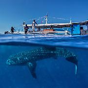 Palawan - Whale Sharks & People - Honda Bay