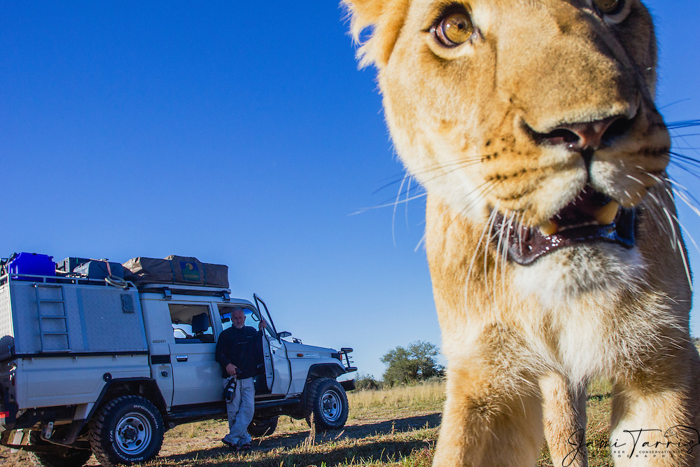 Remote control wide angle close up image of lioness (Panthera leo) with a photographer behind watching, Kalahari Desert, Botswana Africa