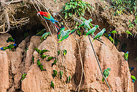 macaws and parrots in clay lick in the peruvian Amazon jungle at Madre de Dios Peru