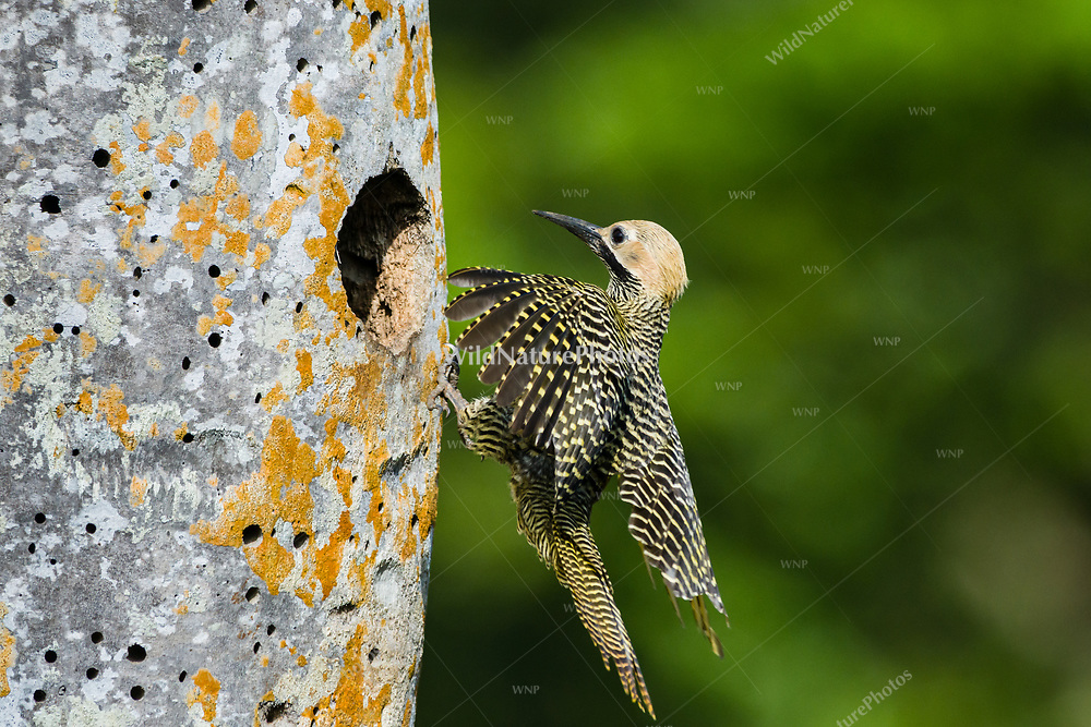 A male Fernandina's Flicker (Colaptes fernandinae) flies to the nest.  The small population of 600–800 birds makes it one of the most endangered species of woodpecker in the world. (Cuba)