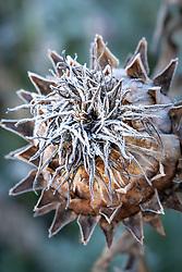 Frost on Cynara cardunculus seedhead - Cardoon, Globe artichoke