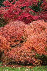 Acer palmatum 'Dissectum' - Dissectum Group - Cut-leaved Japanese maple