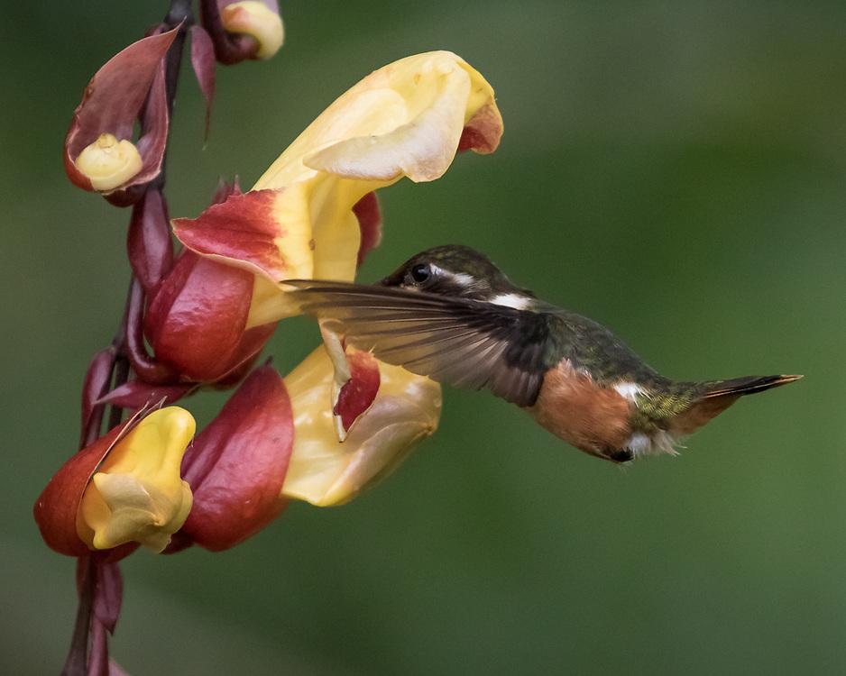 Chaetocercus mulsant, Ecuador