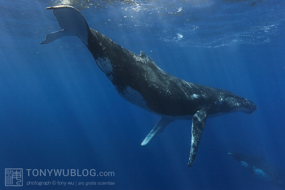 One of six humpback whales (Megaptera novaeangliae) in a heat run, diving down to rejoin the fray after surfacing for air, with another humpback partially visible in the background. Whales encountered far south of the main islands of Vava'u
