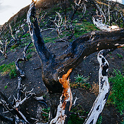 Lenga (Nothofagus) trees killed by bushfire in 2005, Torres del Paine National Park, Patagonia, Chile.