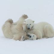 Polar Bear (Ursus maritimus) Two sub adult males playing fighting. Churchill, Manitoba. Canada. Winter.