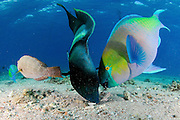 Israel, Eilat, Red Sea, - Underwater photograph of a humphead wrasse (Cheilinus undulatus) and a Rusty parrotfish (scarus ferrugineus) in a frenzy of eating
