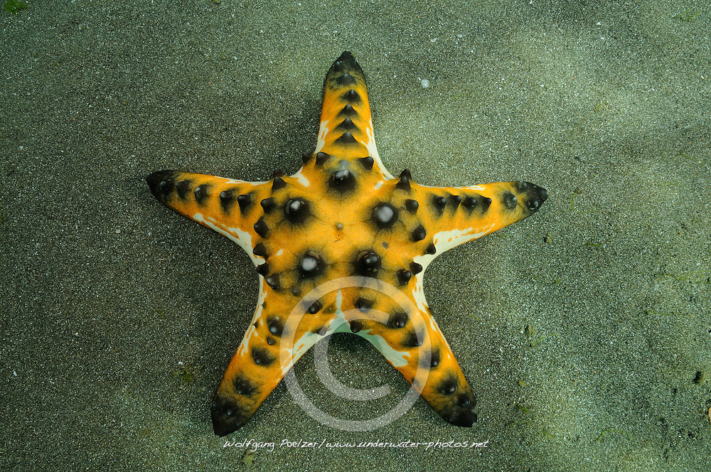 Protoreaster nodosus, Knotiger Walzenseestern, Horned sea star, Secret Bay, Gilimanuk, Bali, Indonesien, Indopazifik, Indonesia, Asien, Indo-Pacific Ocean, Asia