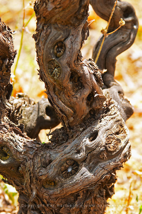 Domaine d'Aupilhac. Montpeyroux. Languedoc. Vines trained in Gobelet pruning. Old, gnarled and twisting vine. Mourvedre grape vine variety. France. Europe. Vineyard.