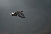 Variable Hawk (Buteo polyosoma)<br /> Cayambe Coca Ecological Reserve<br /> Andes<br /> ECUADOR, South America