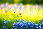 Texas Hill Country bluebonnets and coreopsis. Double spread, cover story, April 2014, Texas Highways Magazine