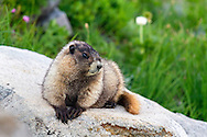 A Hoary Marmot (Marmota caligata) relaxes on a rock along the Golden Gate Trail in the Paradise area of Mount Rainier National Park in Washington State, USA