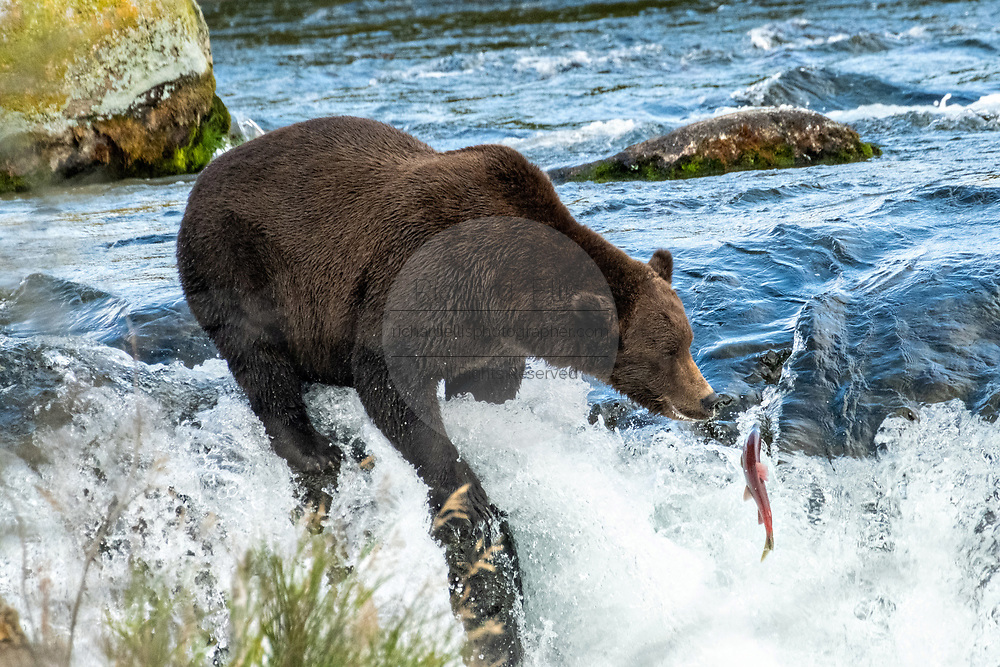 An adult female Brown Bear known as 151 Walker, catches a Sockeye Salmon at the lip of Brooks Falls in Katmai National Park and Preserve September 15, 2019 near King Salmon, Alaska. The park spans the worlds largest salmon run with nearly 62 million salmon migrating through the streams which feeds some of the largest bears in the world.