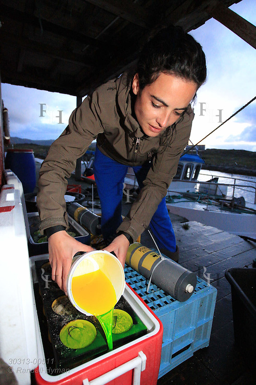 Irene Ballesta Artero pours calcein dye into containers of Arctica islandica clams to embed reference line in their shells that tags deployment date; Ingoya island, Finnmark, Norway.