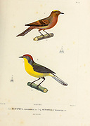 hand coloured sketch Top: Muscipeta cinnamomca Bottom: brown-capped whitestart or brown-capped redstart (Myioborus brunniceps [Here as Setophaga brunniceps]) From the book 'Voyage dans l'Amérique Méridionale' [Journey to South America: (Brazil, the eastern republic of Uruguay, the Argentine Republic, Patagonia, the republic of Chile, the republic of Bolivia, the republic of Peru), executed during the years 1826 - 1833] 4th volume Part 3 By: Orbigny, Alcide Dessalines d', d'Orbigny, 1802-1857; Montagne, Jean François Camille, 1784-1866; Martius, Karl Friedrich Philipp von, 1794-1868 Published Paris :Chez Pitois-Levrault et c.e ... ;1835-1847