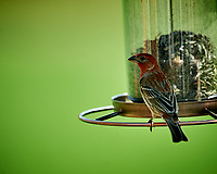 House Finch. Image taken with a Nikon D4 camera and 600 mm f/4 VR lens