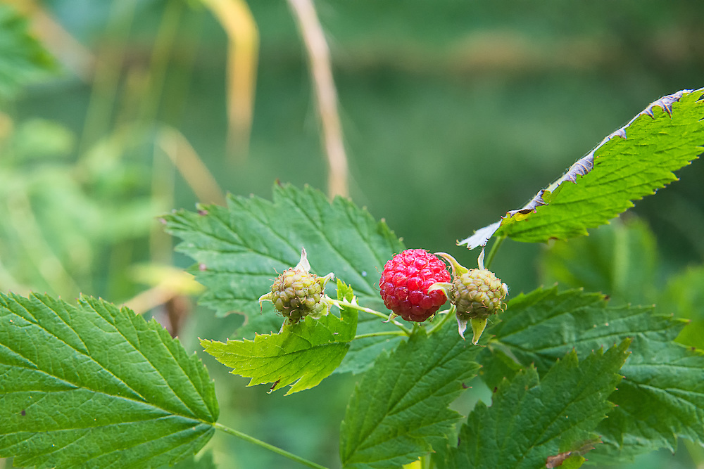 """This delicious little wild raspberry is found in most of the western states and in Canada's British Columbia, and if anyone has ever had candy, sno-cones, syrup or any other flavor called """"blue raspberry"""" - this is the berry where that taste was modeled from. Any easy identification tool for this wonderful little fruit is the underside of the leaves, which are white. These were found growing in the Hoh Rainforest on Washington's Olympic Peninsula within sight of the Hoh River. I've personally found both the red and fully ripe black raspberries to be absolutely delicious!"""