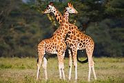 Two Rothchild giraffes ( Giraffa camelopardalis rothschildi) showing affection, Lake Nakuru, Kenya