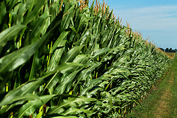 Corn (maize) plants in a farmers field tassel in mid summer to complete the pollination process.