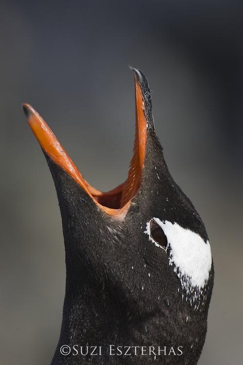 Gentoo Penguin<br /> Pygoscelis papua<br /> Vocalizing on nest<br /> Booth Island, Antarctica