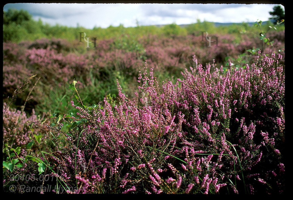 Purple heather carpets Culloden Moor battlefield where some 1500 Highlanders and Redcoats died on April 16, 1746; Inverness, Scotland.