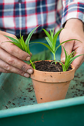 Taking cuttings from tender perennials (penstemon). Placing them around edge of a pot.