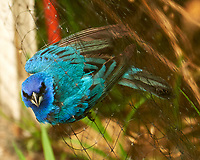 Indigo Bunting (Passerina cyanea) caught in the mesh of a deer fence. Image taken with a Nikon D4 camera and 80-400 mm VR lens.