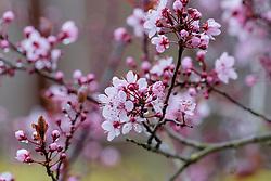 Kerspruim, Prunus cerasifera var. nigra