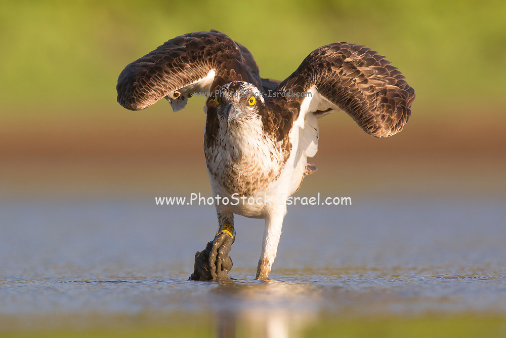 Osprey (Pandion haliaetus) hunting for fish in a water pond. This fish-eating bird of prey is found on all continents except Antarctica. Its diet consists almost exclusively of fish and it is specialised at hunting and catching prey in water. Photographed in Israel in October