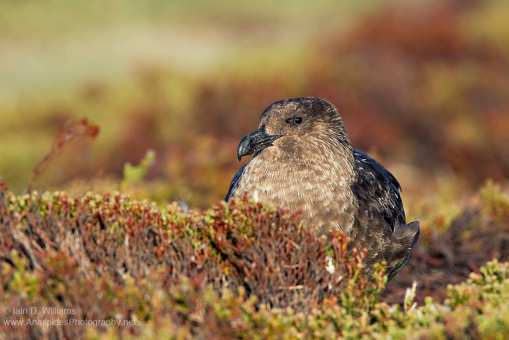 A female skua maintains a regular lookout as it sits on her nest amongst diddle dee vegetation in the Falkland Islands