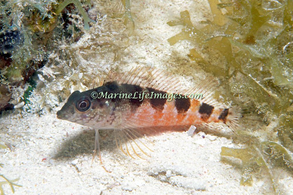 Saddle Blenny inhabit reefs, perch on bottom in Tropical West Atlantic; picture taken Dry Tortugas, Florida Keys.