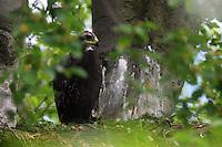 Golden Eagle (Aquila chrysaetos) at nest. the Carpathians; Carpathian Mountains; Bieszczady Mountains; Poland