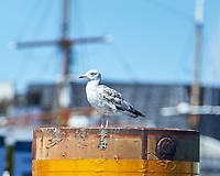 Herring Gull (Larus argentatus). Copenhagen, Denmark. Image taken with a Nikon D4 camera and 80-400 mm VR lens.