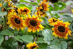 Helianthus annuus Harlequin - Sunflower