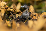 A pied-billed grebe (Podilymbus podiceps) sits on her nest among dried-out water lilies in the wetlands of the Washington Park Arboretum, Seattle, Washington. Pied-billed grebes are found throughout the Americas, typically on freshwater wetlands that have aquatic plants.