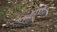 Pair of mourning doves in my Garden. Spring in New Jersey. Image taken with a Fuji X-T2 camera and 100-400 mm OIS lens (ISO 200, 400 mm, f/6.4, 1/125 sec).